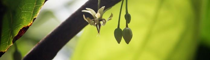 Flowering Cocoa Tree